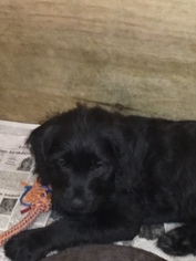 Labradoodle Puppy For Sale in ASPERS, PA