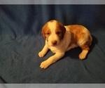 Puppy 8 Brittany