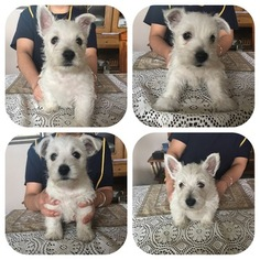 West Highland White Terrier Puppy For Sale in FORT WAYNE, IN