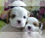 Cavalier King Charles Spaniel Puppy For Sale in FAIR OAKS, CA, USA