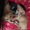 Chiweenie Puppy For Sale in RESEDA, CA, USA