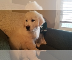 English Cream Golden Retriever Puppy for Sale in HUDSONVILLE, Michigan USA