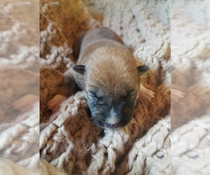 Shiba Inu Puppy for sale in WEST BROOKFIELD, MA, USA