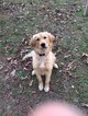 Golden Retriever Puppy For Sale in GARNER, NC