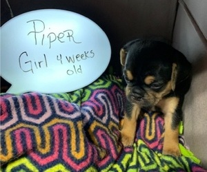 Puggle Puppy for sale in CANADIAN LAKES, MI, USA