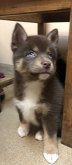 Pomsky Puppy For Sale in MOUNT MORRIS, MI, USA