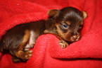 Yorkshire Terrier Puppy For Sale in PLANT CITY, FL, USA
