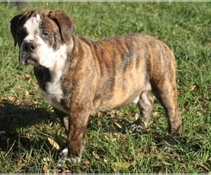 Alapaha Blue Blood Bulldog Puppy for sale in WEIRSDALE, FL, USA