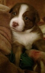 Australian Shepherd Puppy For Sale in STRAFFORD, MO, USA