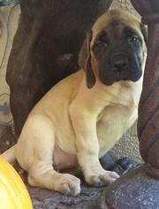 Mastiff Puppy For Sale in DUNNELLON, FL