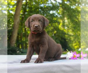 Labrador Retriever Puppy for sale in NARVON, PA, USA