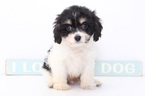 Cavachon Puppy For Sale in NAPLES, FL,
