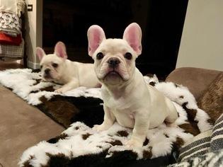 AKC French Bulldog Pups Available Jan 11