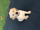 Golden Retriever Puppy For Sale in CHICAGO, IL,