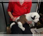 Puppy 8 Saint Bernard