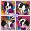 Boston Terrier Puppy For Sale in ODENVILLE, Alabama,