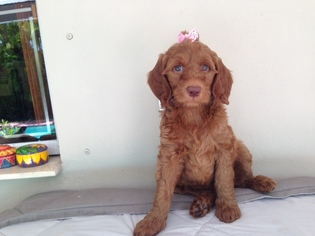 Goldendoodle Puppy For Sale in MIAMI, FL