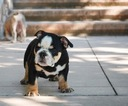 Bulldog Puppy For Sale in SAN FRANCISCO, CA