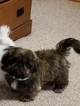 Shih Tzu Puppy For Sale in SALISBURY, NC, USA
