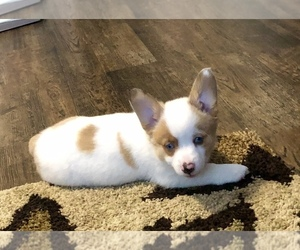 Pembroke Welsh Corgi Puppy for sale in TRAVERSE CITY, MI, USA