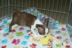 Small #5 Boston Terrier