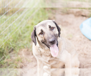 Kangal Dog Puppy for Sale in RAEFORD, North Carolina USA