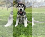 Goberian Puppy For Sale in BRINKHAVEN, OH, USA