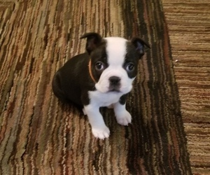 Boston Terrier Puppy for sale in SANTA ROSA, CA, USA