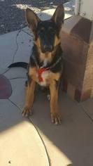 German Shepherd Dog Puppy For Sale in HESPERIA, CA, USA