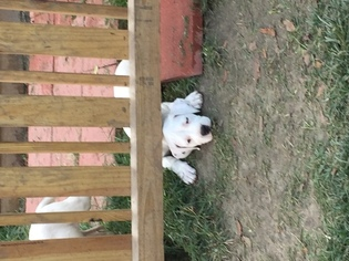 Dogo Argentino Puppy For Sale in RICHLANDS, NC, USA