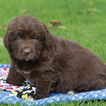 Newfoundland Puppy For Sale in GAP, PA, USA