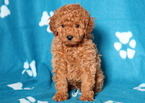 Poodle (Toy) Puppy For Sale in MOUNT JOY, PA, USA