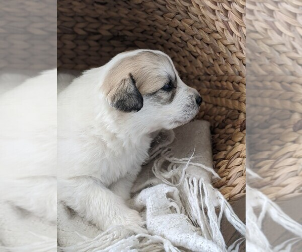 Medium Photo #23 Great Pyrenees Puppy For Sale in FALCON, CO, USA