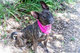 Kelly - Bull Terrier / Black Labrador Retriever / Mixed Dog For Adoption