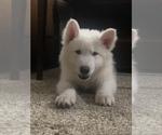 Puppy 7 Wolf Hybrid