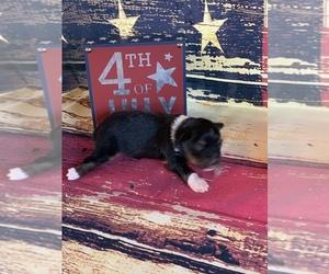Miniature Australian Shepherd Puppy for Sale in LA SALLE, Colorado USA