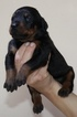 Direct from Europe Doberman female puppies