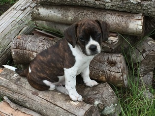 Frengle Puppy For Sale in HUGER, SC, USA