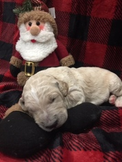 Goldendoodle-Unknown Mix Puppy For Sale in WEST FORK, AR, USA
