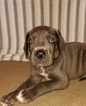 Great Dane Puppy For Sale in HOLDEN, MO, USA