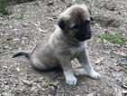 Anatolian Shepherd Puppy For Sale in SLAUGHTER, LA