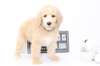 Poodle (Standard) Puppy for sale in NAPLES, FL, USA