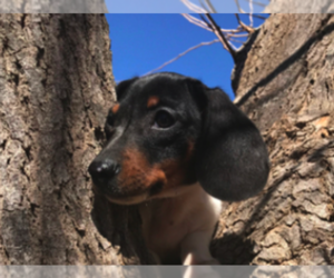 Dachshund Puppy for sale in AGUA DULCE, CA, USA