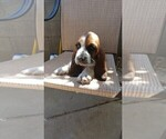 Small #4 Basset Hound