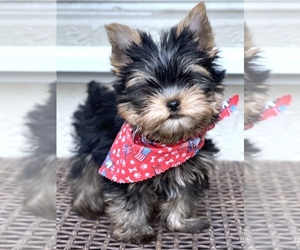 Yorkshire Terrier Dog for Adoption in CORAL SPRINGS, Florida USA