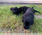 Small #29 Labrador Retriever