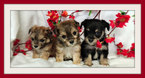 Pooranian-Yorkshire Terrier Mix Puppy For Sale in SAN JOSE, CA, USA