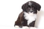 Aussie-Poo Puppy For Sale in NAPLES, FL,