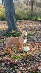 Glenda - Pit Bull Terrier / Mixed (short coat) Dog For Adoption