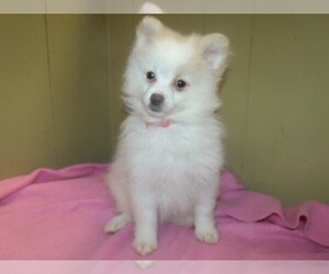 Pomeranian Puppy for Sale in PATERSON, New Jersey USA